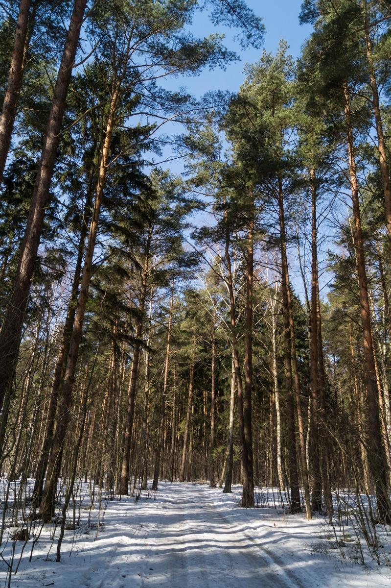 Ольгино. На берегу Финского залива. Сосны в пока еще в заснеженном лесу.