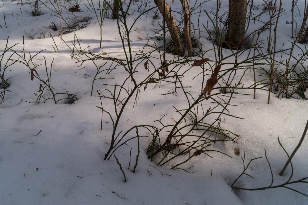 Ольгино. На берегу Финского залива. Кусты черники в снегу.