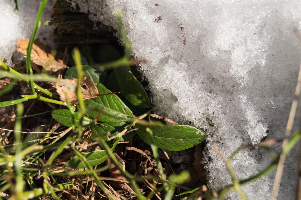 Ольгино. На берегу Финского залива. Последний снег и первая зелень в лесу.