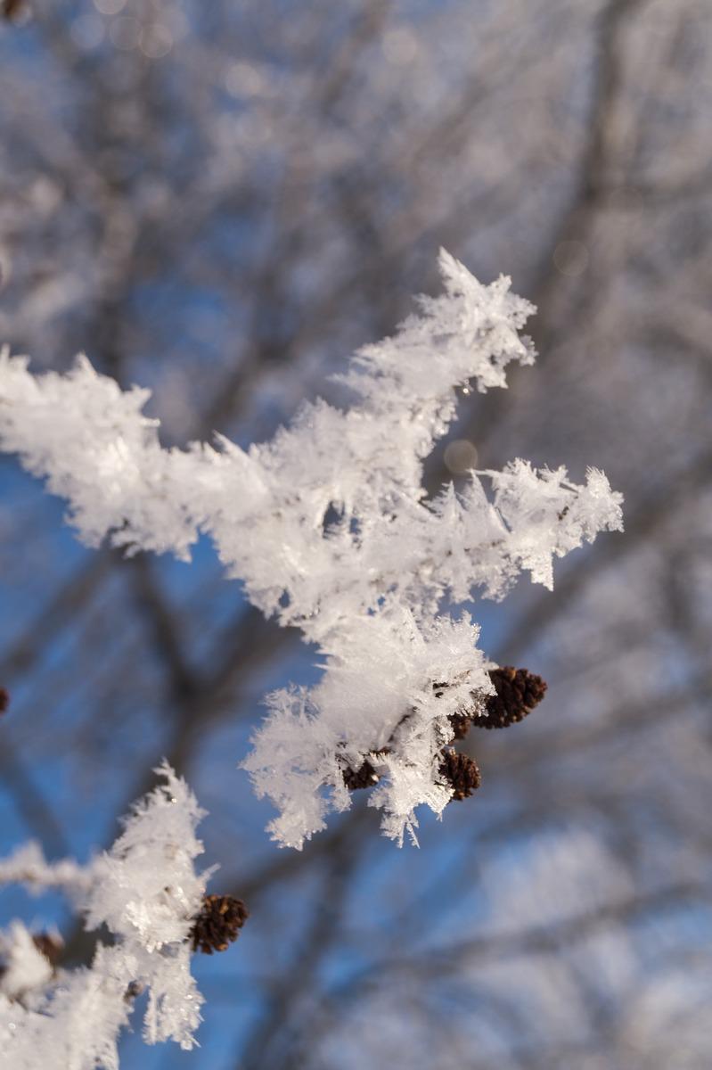 Эстония. Мартовская пушисто-снежная красота ольхи.
