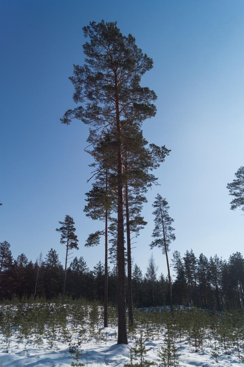 Латвия. Солнечный день. Сосны и подлесок.