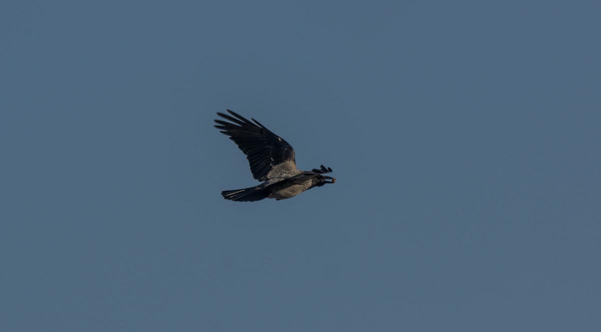 Рига. Небо. Воздух свободы. Ворона с добычей.