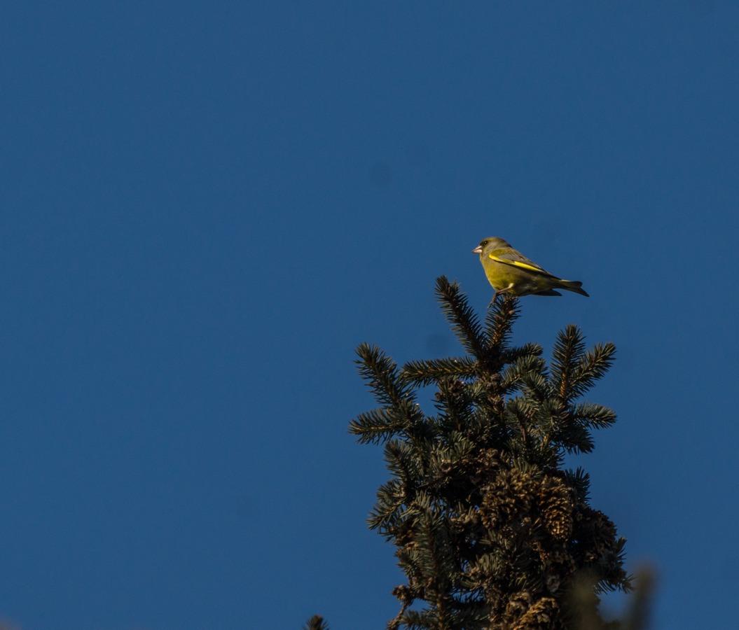 Рига. Чижик на вершине ели в парке Эспланада.