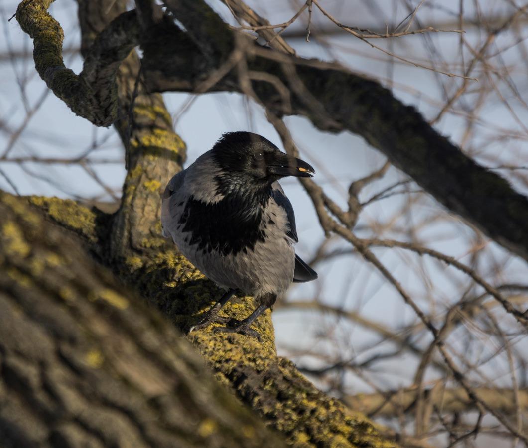 Рига. У Островного моста. У парка отдыха на острове Луцавсала. Ворона с чем-то вкусным.