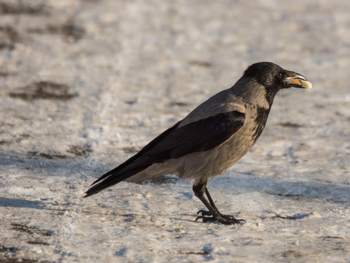 Рига. У Островного моста. У парка отдыха на острове Луцавсала. Ворона с чем-то вкусным. Дайте два.